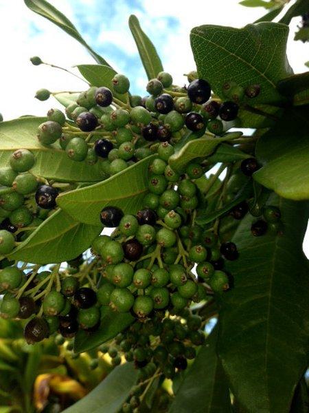 Allspice Tree (Pimenta dioica) liveTree | Maui Seeds
