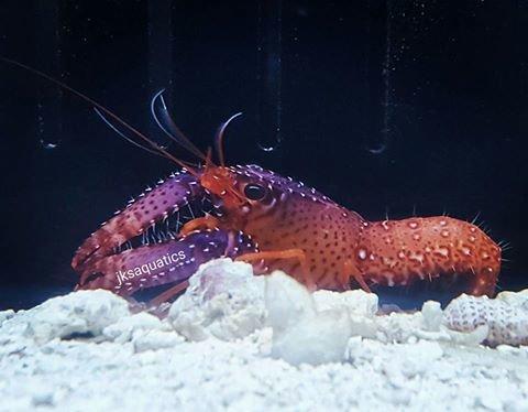 JKS Purple Lobster