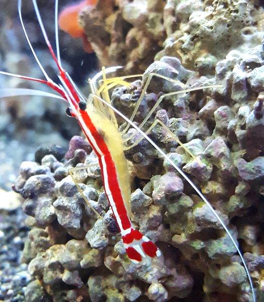 Cleaner Shrimp LG