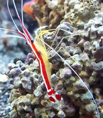 Cleaner Shrimp LG