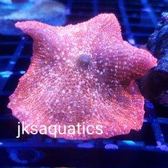 JKS Starburst Mushroom