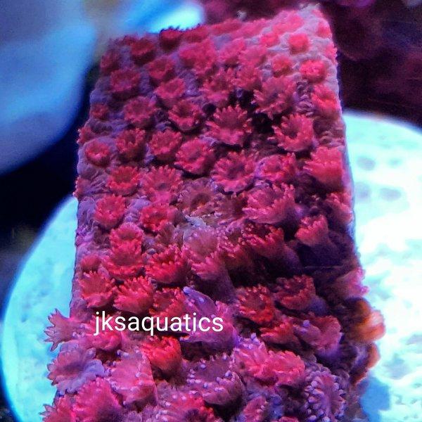 JKS Short Polyp Red Gonipora