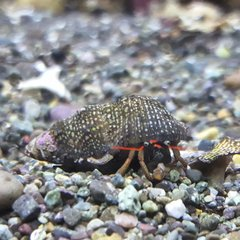 Reef Hermit Crabs (red)