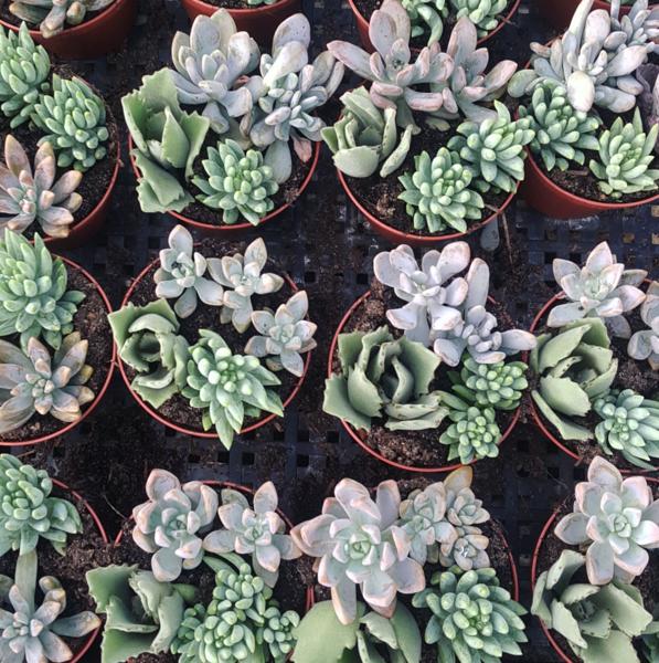 Succulent Arrangements - Set Of 12
