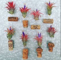 Tipsy Cork Magnets - Air Plants - Set Of 5