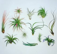 Bundle - Tillandsia - 12 Air Plants