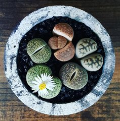 Cement Planter - Lithops