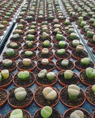 Bundle - Living Stones - Set Of 30