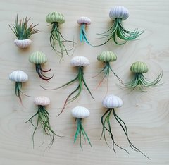 Multi-Color Sea Urchin & Air Plant - Set Of 12, 24 & 50