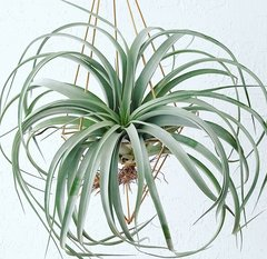 Geometric Air Plant Hanger - XL