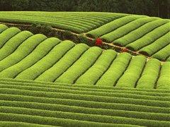 Assam Organic SFTGFOP1