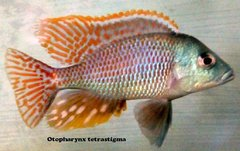 Otopharynx Tetrastigma