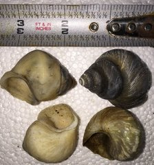 Neothauma Shell group of 6
