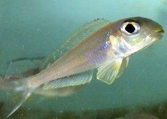 Xeno bathyphilus Isanga - juvenile