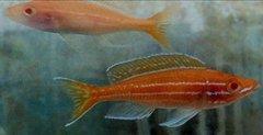 Paracyprichromis nigripinnis Blue Neon Albino - juv