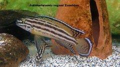 Julidochromis Regani Zambian - juv