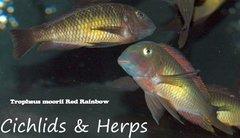Tropheus moorii Red Rainbow - juvenile