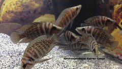 """Altolamprologus calvus Black Congo juvenile 2+"""""""