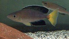 Cyprichromis leptosoma Jumbo Chaitika - juv