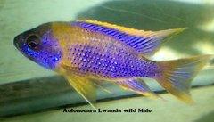 Aulonocara Lwanda - small
