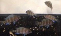"Cyphotilapia gibberosa Mpimbwe Hai Reef - 1.5-2"""