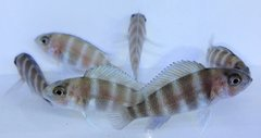 Frontosa Kigoma 7 Stripe (multiple sizes available)