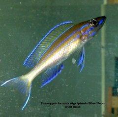 Paracyprichromis nigripinnis Blue Neon  juv
