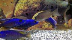 Sciaenochromis Fryeri - large