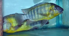 Petrochromis - Wild and Pond raised