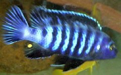 """Pseudotropheus Saulosi - juvenile 1+"""""""