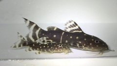Synodontis Angelicus Wild