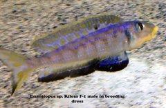 Enantiopus sp. Kilesa - juvenile