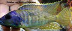 Otopharynx Big Spot Magunga - Large