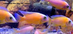 Aulonocara Fire Fish Young Adult