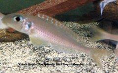 Xeno flavipinnis Red Royal Kekese - juvenile