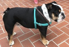 Bull Dog Harness - Adjustable