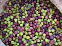 Organic California Arbequina