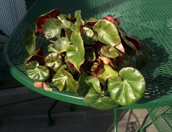 Begonia 'Erythrophylla' (Beefsteak Begonia) | Epihaven Nursery