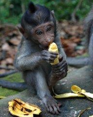 Monkey Farts