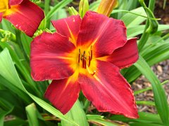 Hemerocallis 'Dragon Lore' (Daylily)