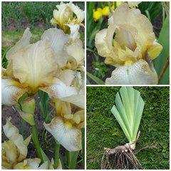 Tall Bearded Iris 'Benton Primrose' Rare Historic Iris