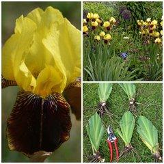 Tall Bearded Iris 'Rajah Brooke' Historic Iris
