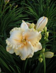 Hemerocallis 'Enchanted Forest' (Daylily)