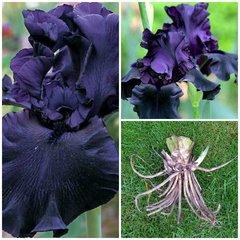 'Hello Darkness' Tall Bearded Iris