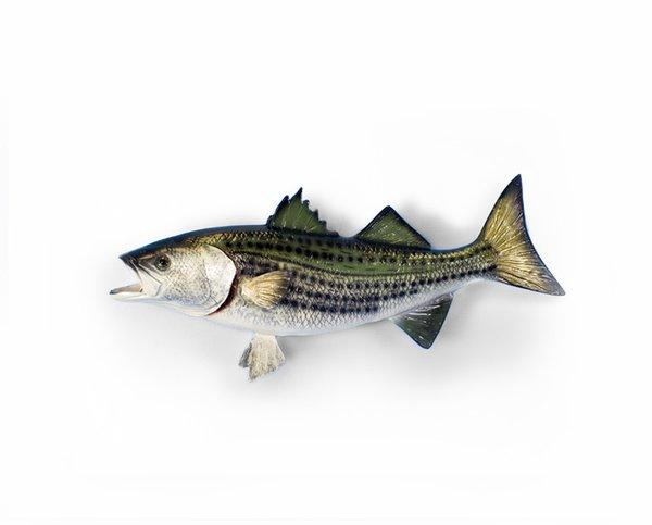 "Striped Bass 14"""