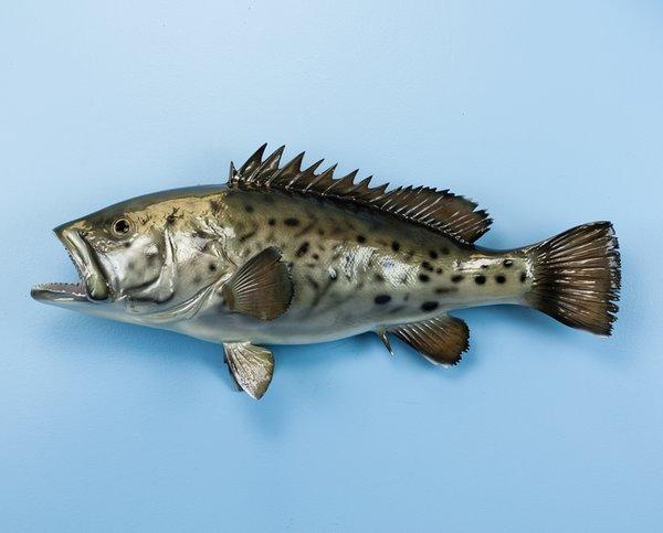 "Grouper 29"" Fish Mount"