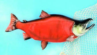 "28"" Sockeye Salmon Fish Mount"