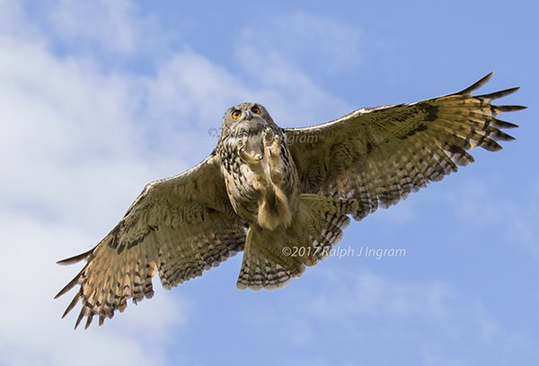 Eagle owl catching it 39 s prey in flight eagle owl eagle for What owls look like without feathers