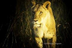 Lioness Walk