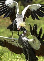 Black Crowned Crane Fight